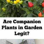 Are Companion Plants In Garden Legit?